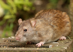 Glossop Rat And Mice Problems