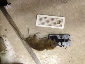 This is an image of a rat caught in Charlesworth pest control.