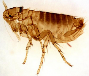 This is an image of a flea in Gamesley pest control.