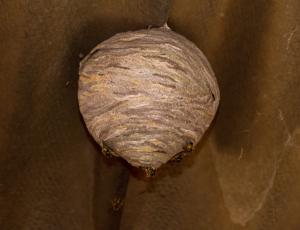 Glossop Wasps Nests